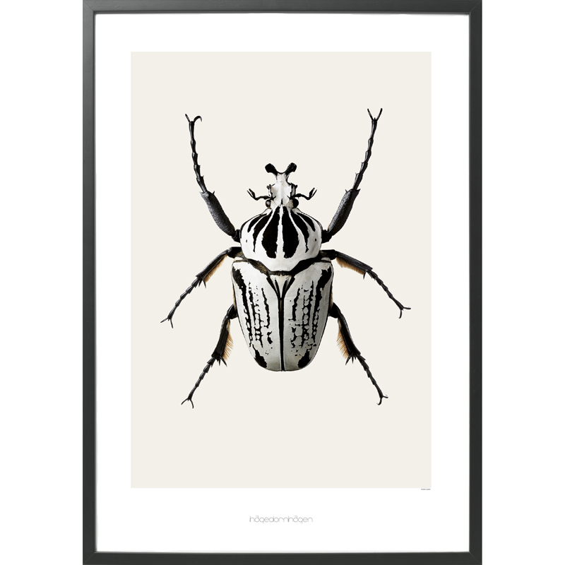 Hagedornhagen-Poster-Goliathus-Orientalis